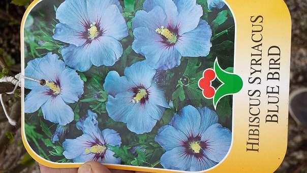 Hibiscus Winterhart Versch Farben 35 2542 Kottingbrunn