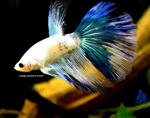 Kampffische bettas 9 1230 wien willhaben for Kampffische arten