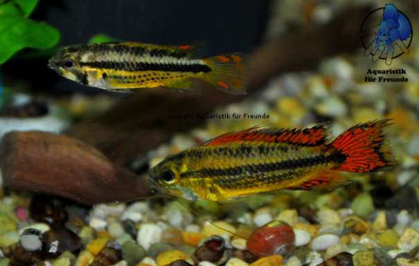 apistogramma cacatouides double red kakadu zwergbuntbarsch 6 1230 wien. Black Bedroom Furniture Sets. Home Design Ideas