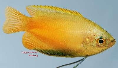 Honiggurami gold - Colisa chuna gold