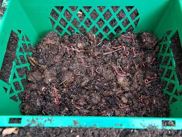 Kompostwürmer wurmbox kompostwürmer 76 2105 oberrohrbach willhaben