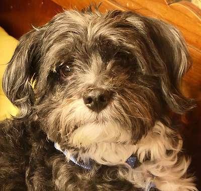 SOS: Wer erspart lieben Havaneser Rüde 9 Jahre wegen schwerer Erkrankung des Kindes das Tierheim: bitte teilen - danke