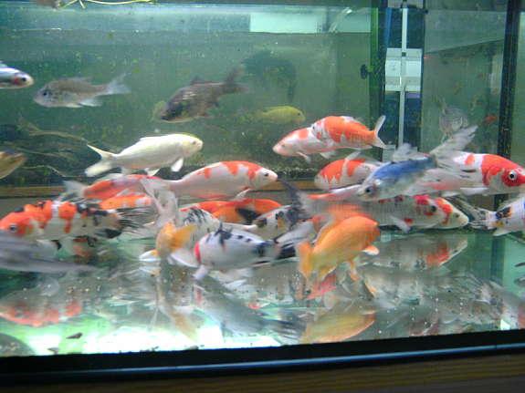 Teichfische 3 50 2191 gaweinstal willhaben for Teichfische shop