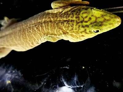 Phelsuma standigi: Querstreifen -Taggecko