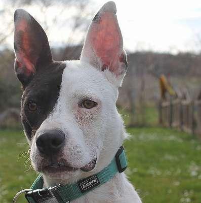 SOS Paula freundliche gutmütige Hündin 11 Monate, lebt mit 5 Katzen, 2 Hunden und 1 Kind, durfte aufgrund ihrer Optik nicht mit übersiedeln. Wer gibt ihr ein neues dauerhaftes Zuhause? Bitte teilen - danke