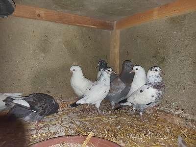 Junge Tauben