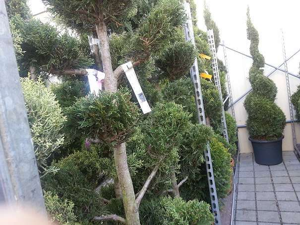 gartenpflanze, winterhart, für terrasse, balkon auch, bleiben im, Garten Ideen