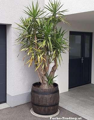 Bolero Pflanztopf Blumentopf Pflantrog Blumentrog Palmentrog Palmen Bäume Gefäß Trog Pflanzkiste