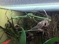 Raue Grasnatter (Opheodrys aestivus)