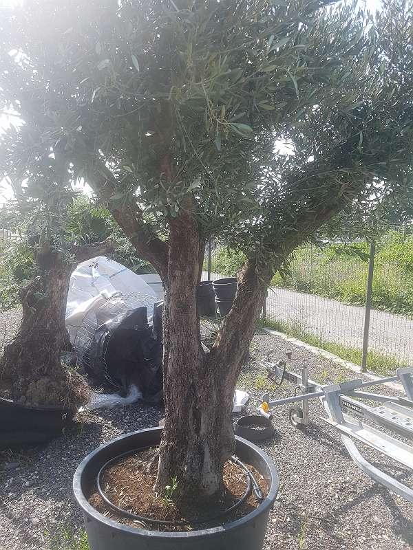 Prächtig Riesen auswahl winterharte palmen oliven mediterrane pflanzen @YF_32